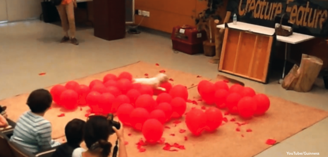 Dog World Record In Balloon Popping